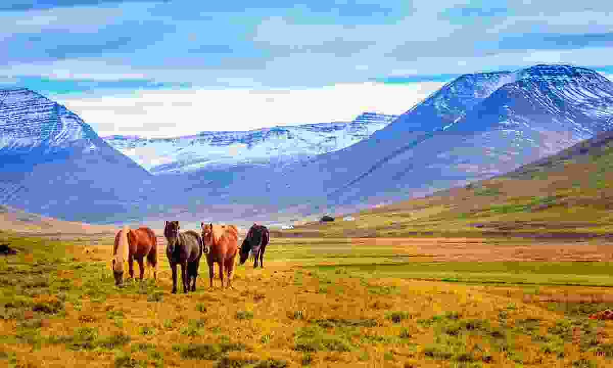 Icelandic ponies. (Shutterstock)