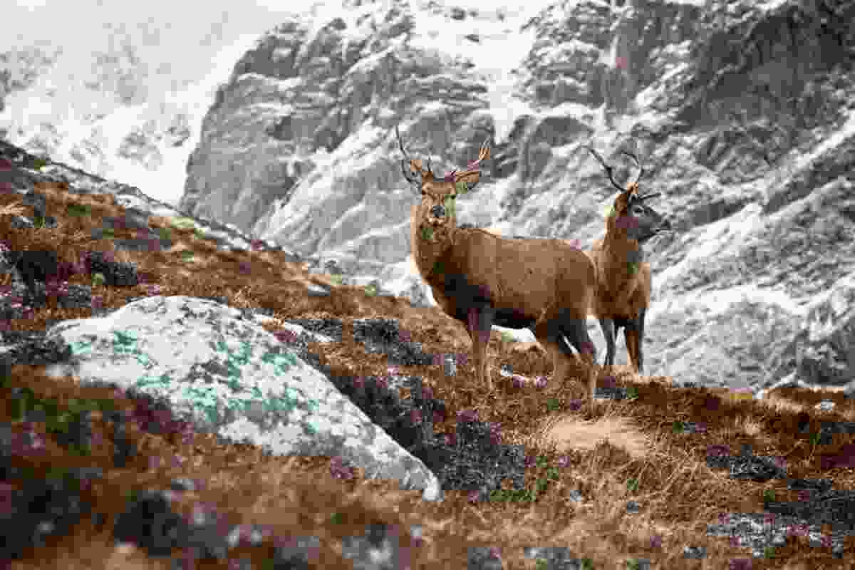 Two stags on the climb up towards Carn Mòr Dearg Arete (Dougie Cunningham)