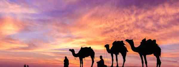 Camels in the desert, Oman (Dreamstime)