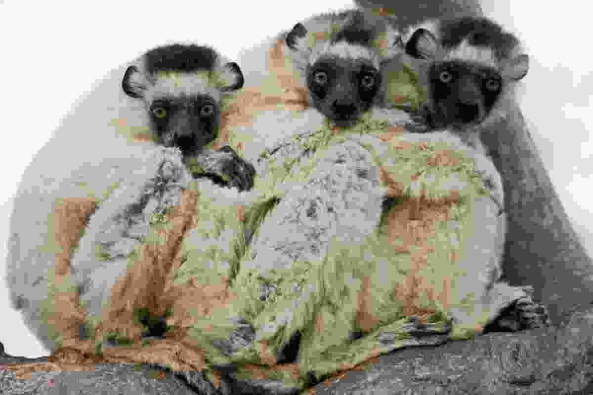 Sifaka lemurs, Madagascar (Art Wolfe)