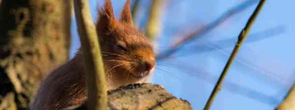 Red squirrel on Isle of Wight (Shutterstock)
