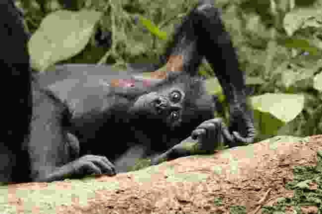 Bonobos, Luikotale Research Camp, DRC (Sean Brogan)