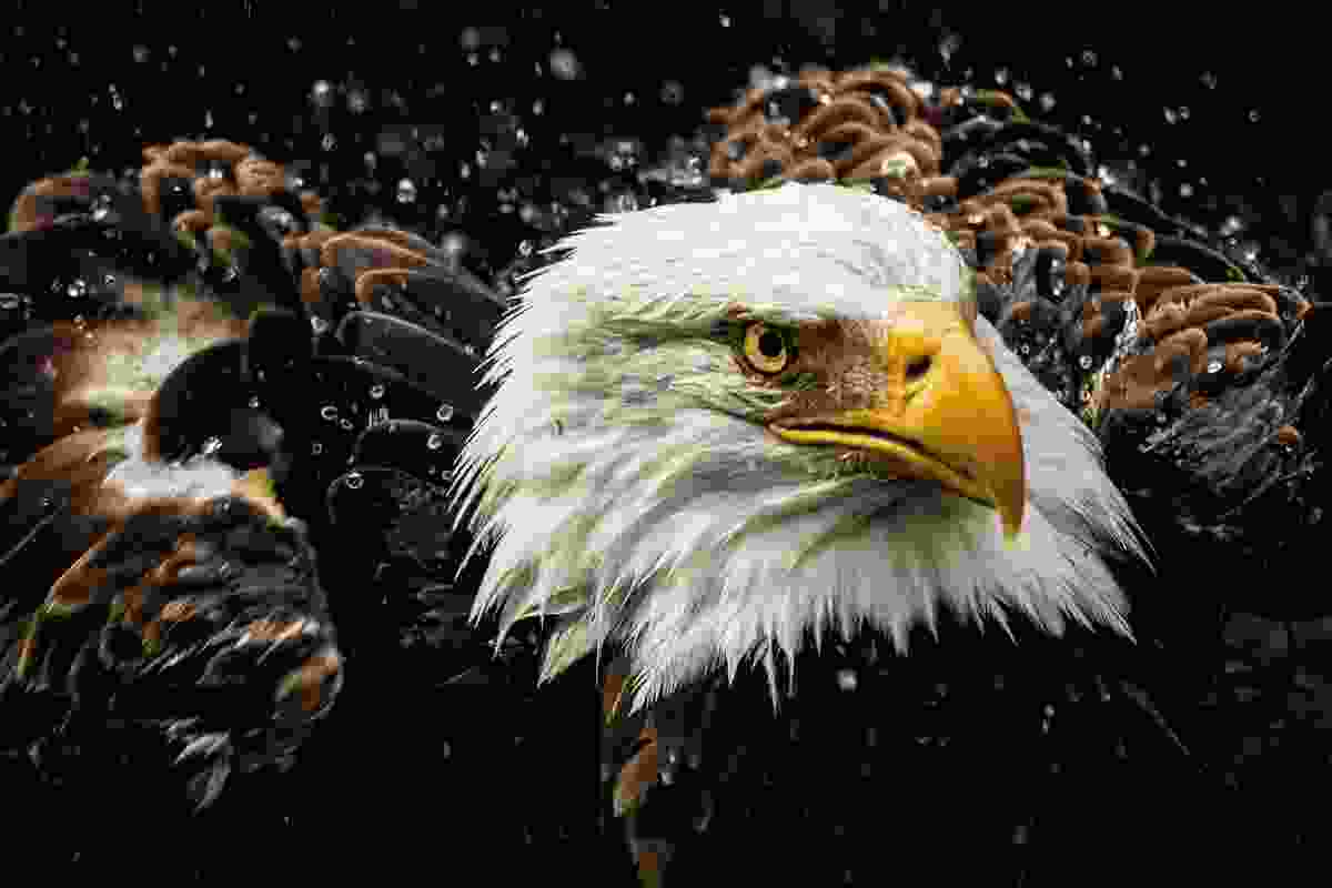 Shake it off – Bald eagle in Tennessee, USA (Michael Pachis)