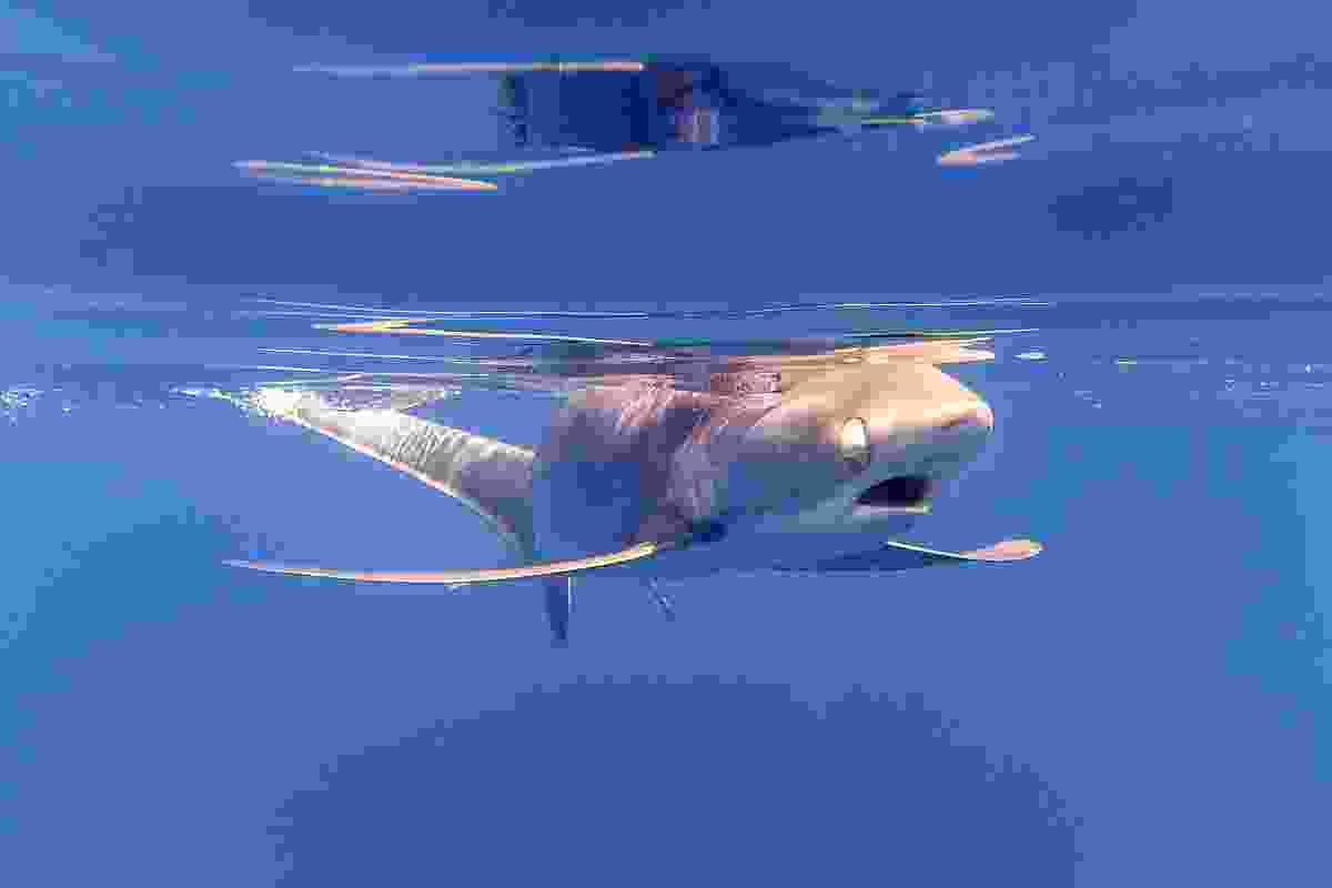 Blind thresher shark swimming Lombok (Shutterstock)