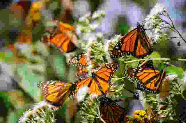 Michoacán's monarch butterflies ascend in their millions for mating season (Shutterstock)