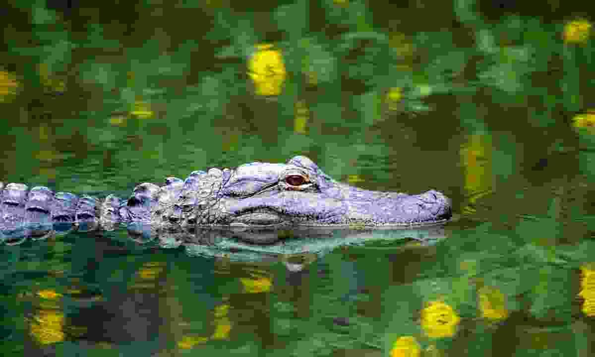 An American alligator in the Everglades (Shutterstock)
