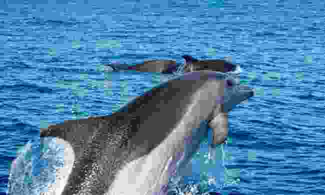 Swim with Madeira's many dolphins (Shutterstock)