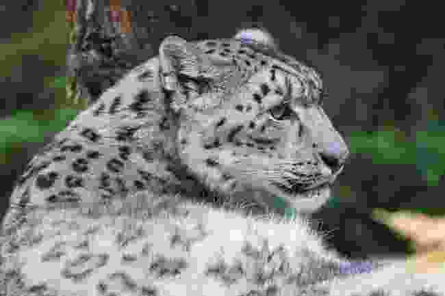 One of the few thousand remaining snow leopards (Dreamstime)