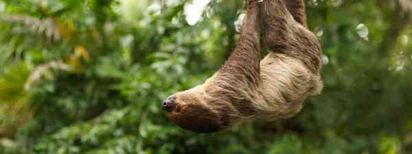 Sloth in the rainforest (Shutterstock)