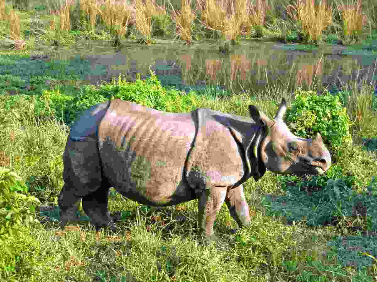 Rhino, Royal Chitwan National Park. (Shutterstock)