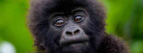 A baby gorilla in Rwanda. Name unknown (Shutterstock)