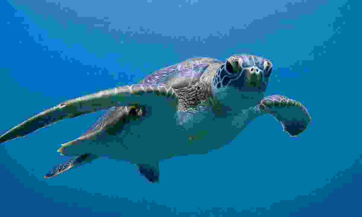 A green turtle at Ningaloo Reef (Shutterstock)
