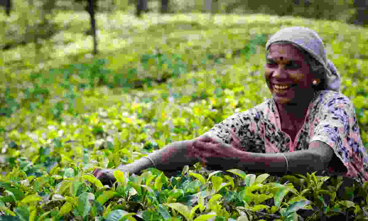 Tea picking in Nuwara Eliya (Dreamstime)