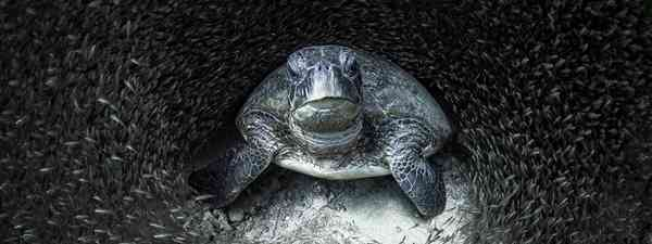 A green turtle surrounded by glad fish (Aimee Jan/Ocean Photography Awards)