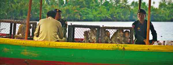Back to the wild: Releasing captured macaques (Mark Stratton)