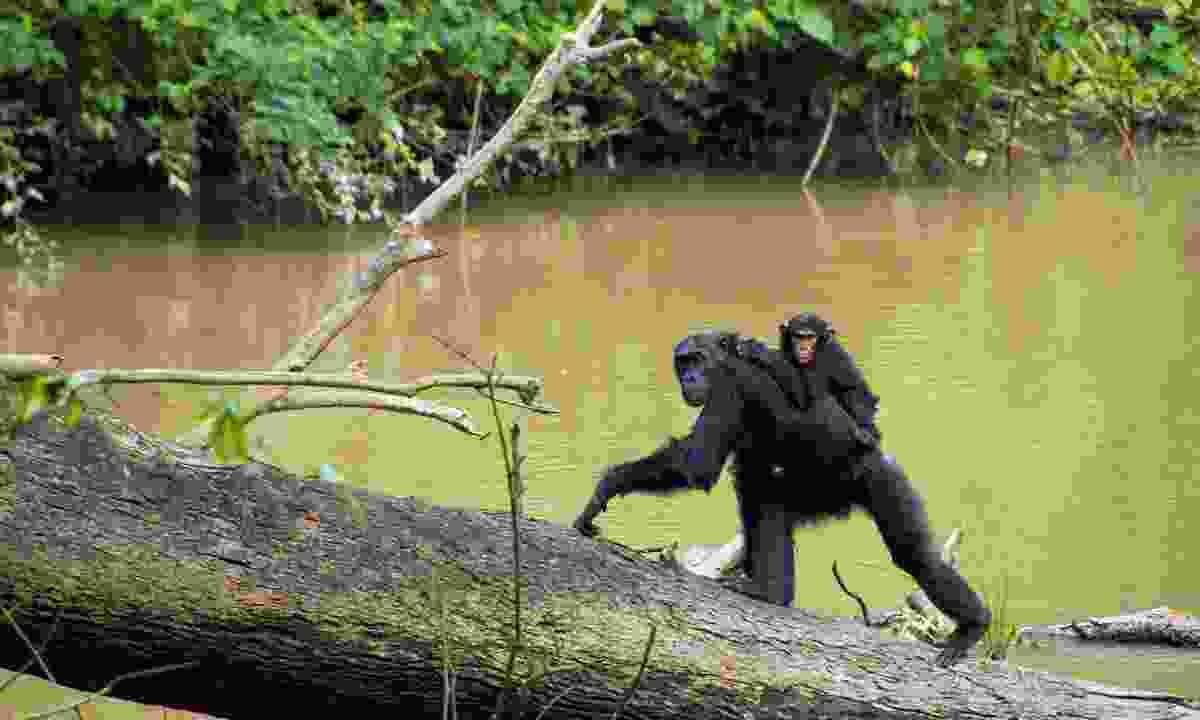 Chimps walking along Kyambura riverside walk (Dreamstime)