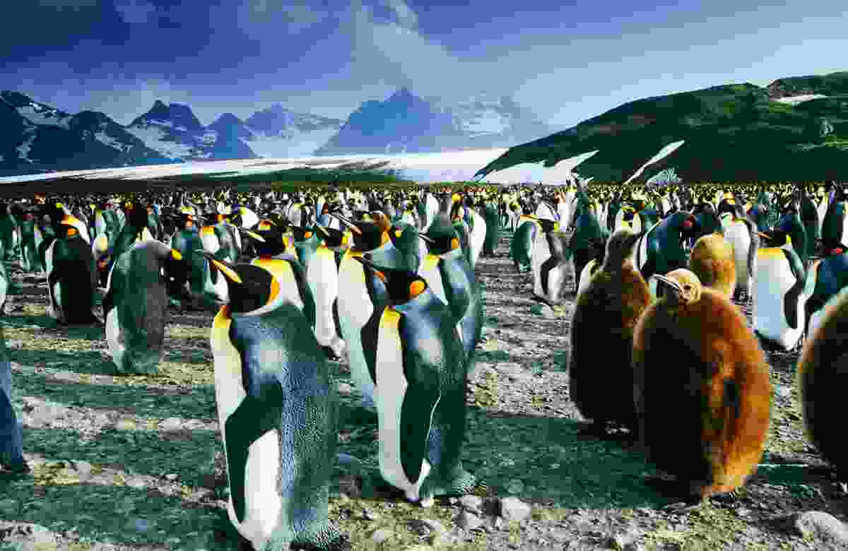 The colony of king penguins at South Georgia Island (Dreamstime)