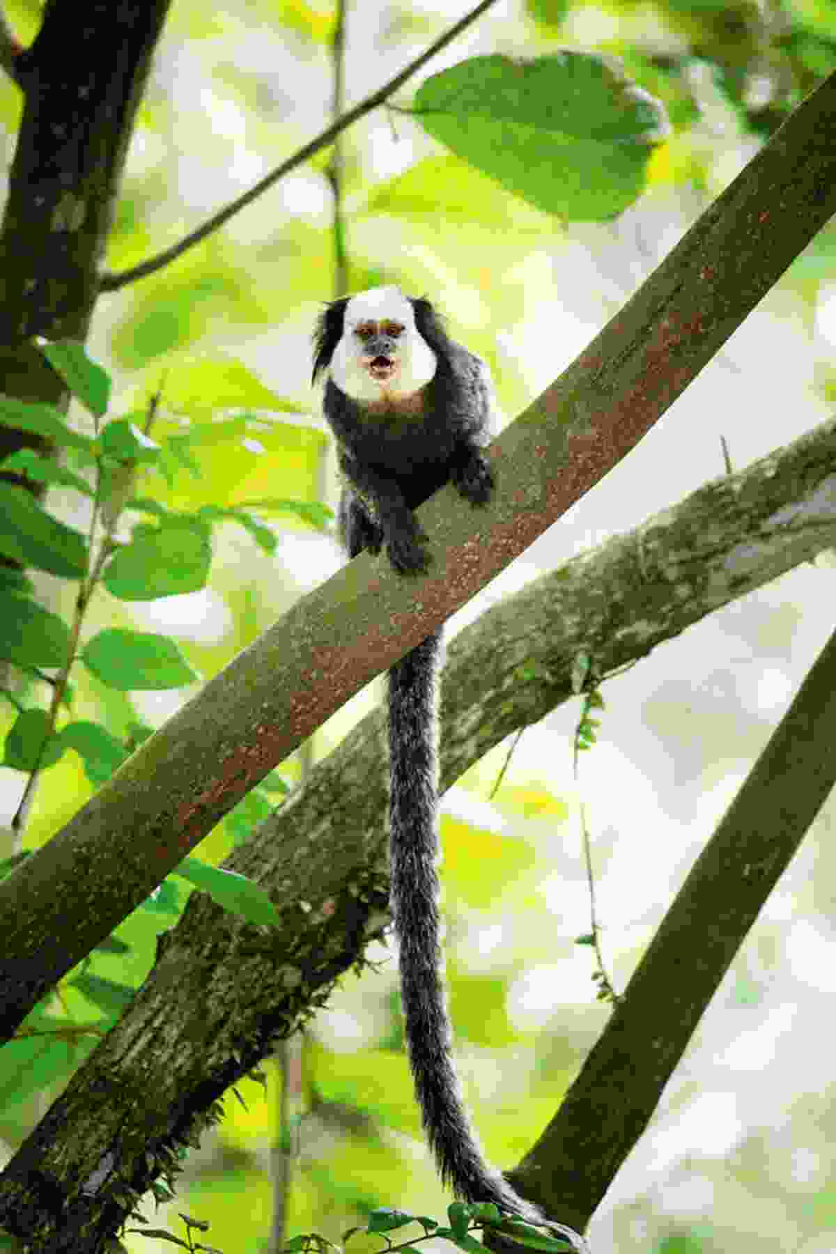 Marmosets linger in the trees of Sugarloaf (Alex Robinson)