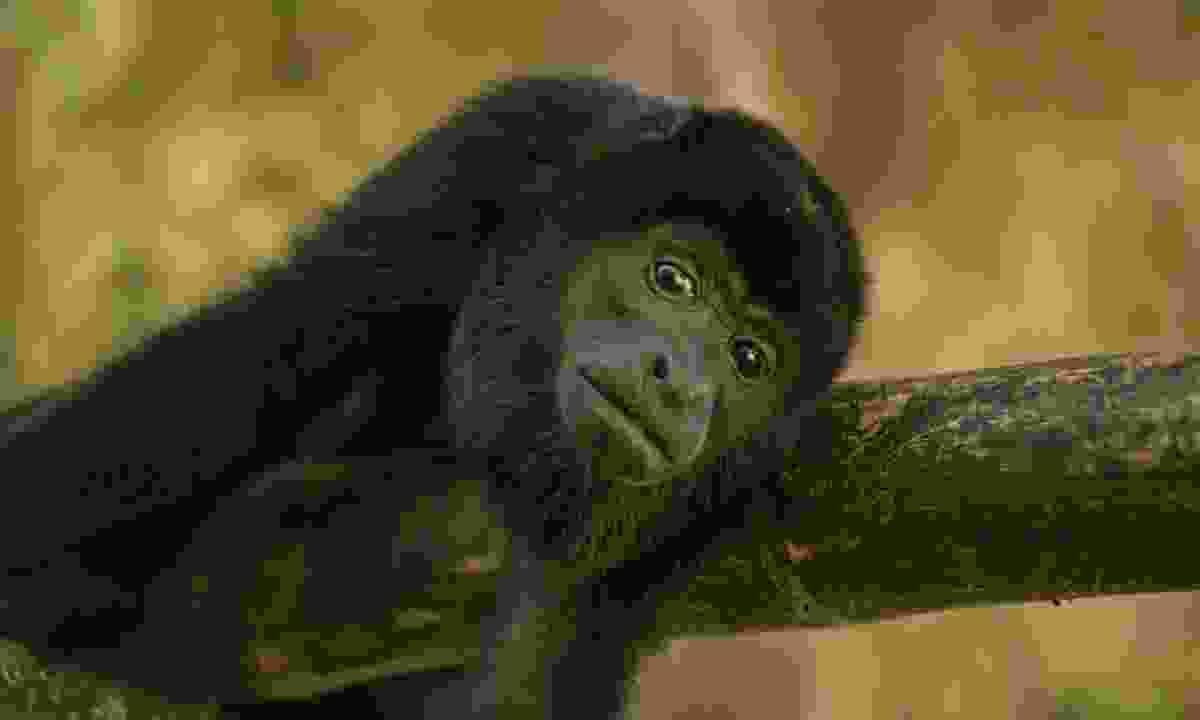 See howler monkeys in Costa Rica
