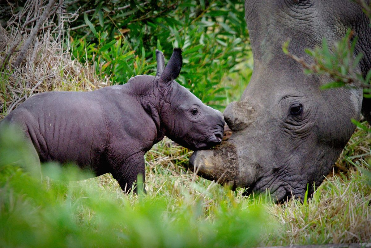 Southern white rhino in South Africa (Ayesha Cantor)