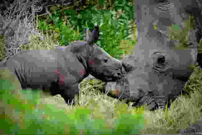 Southern white rhino in South Africa (Remembering Rhinos/Ayesha Cantor)