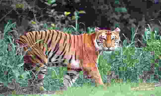 A tiger in the wild in India (Dreamstime)