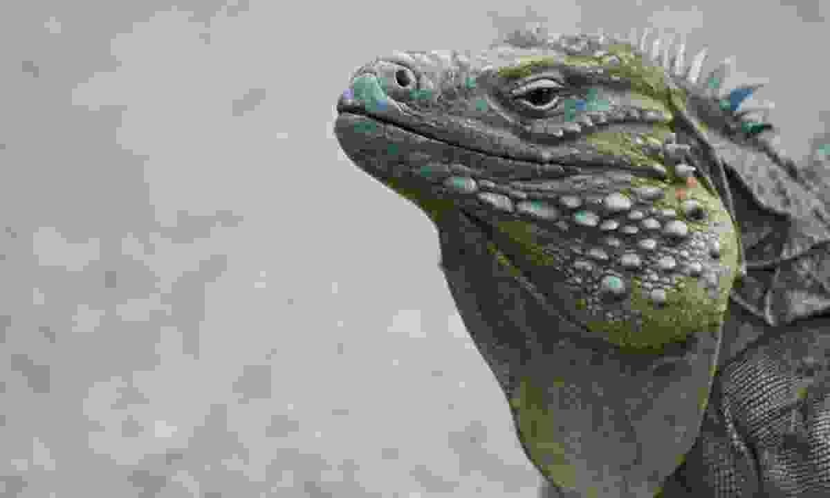 A Blue iguana (Dreamstime)