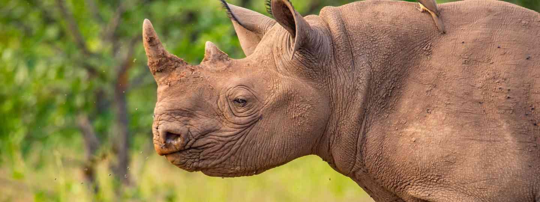 A rhino and friend in Zimbabwe (Shutterstock)