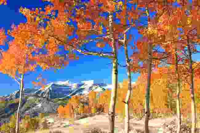 An aspen glade in the Utah mountains (Shutterstock)