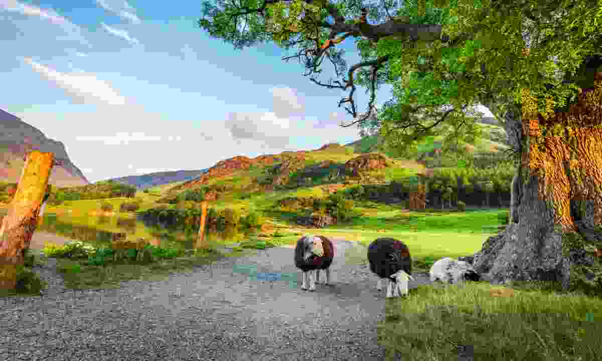 Sheep in the Lake District (Shutterstock)