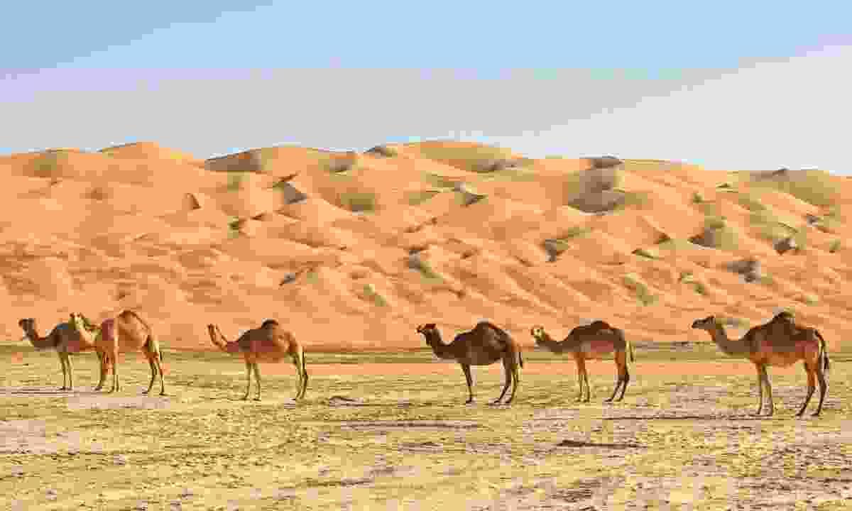 Camels in Rub' al Khali (Dreamstime)