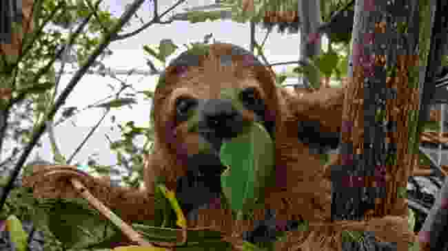 Sloth chilling in the tree tops (Dreamstime)