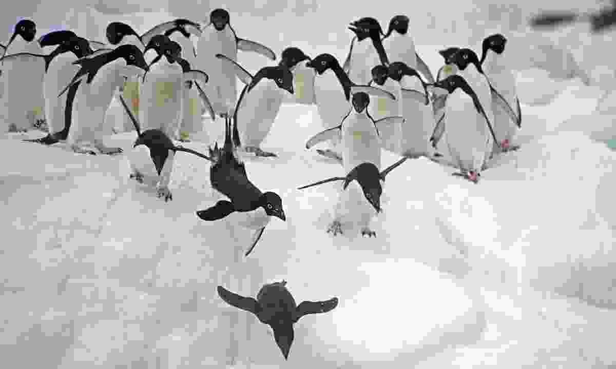 Adélie penguins leaping off an iceberg (Dreamstime)