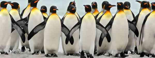 King penguins (Dreamstime)
