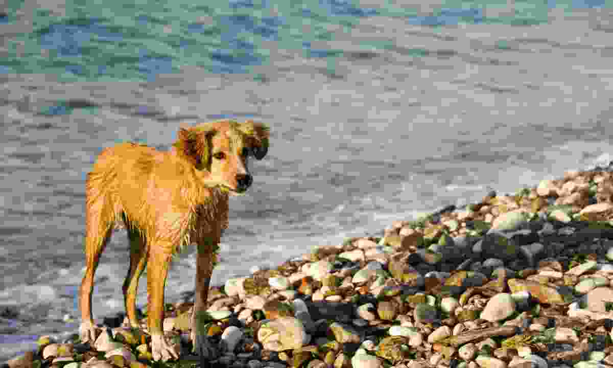 A dog takes a dip in the sea in Greece (Dreamstime)