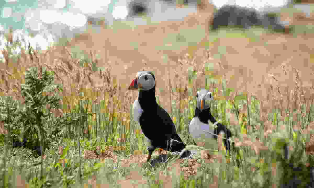 Puffins on the shore of Skomer Island, Wales (Dreamstime)