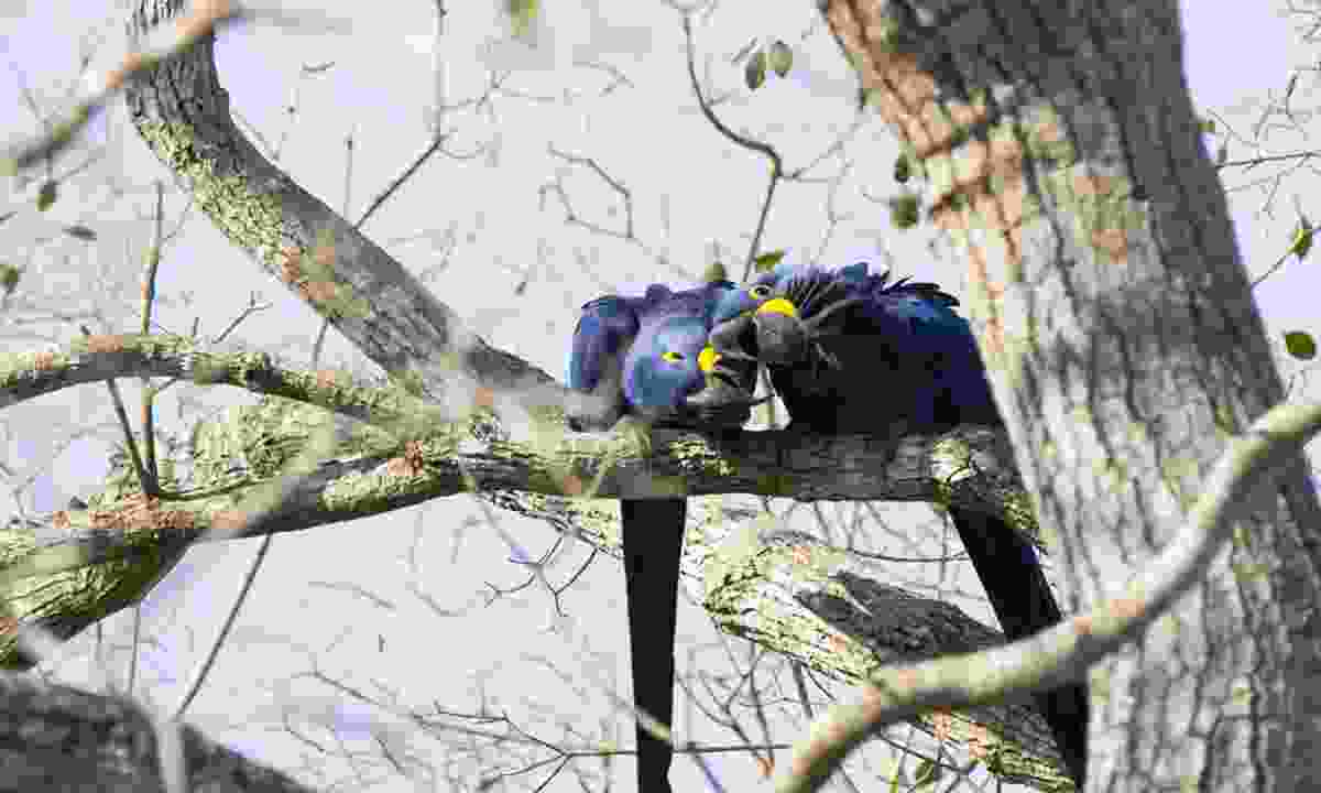 A pair of hyacinth macaws - the birds are monogamous (Dreamstime)