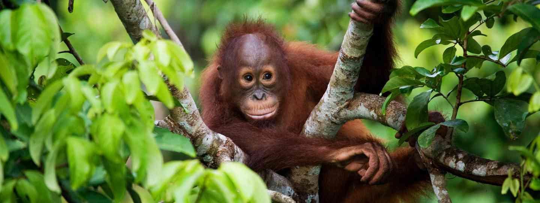 Baby orangutan (Dreamstime)