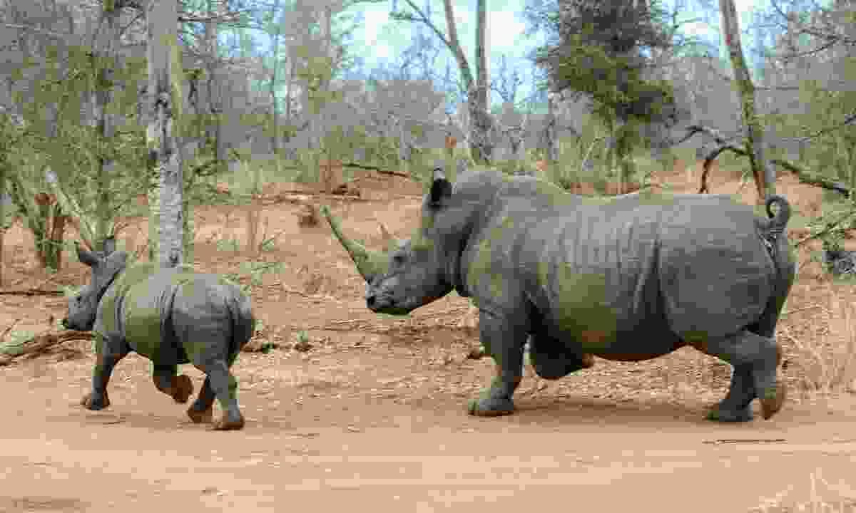 White rhino running in Hlane Royal National Park  (Dreamstime)