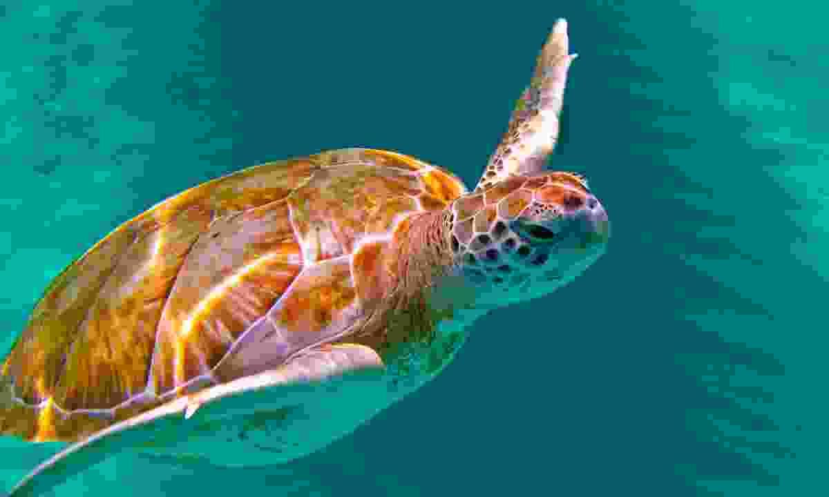 Snorkel alongside green sea turtles (Dreamstime)