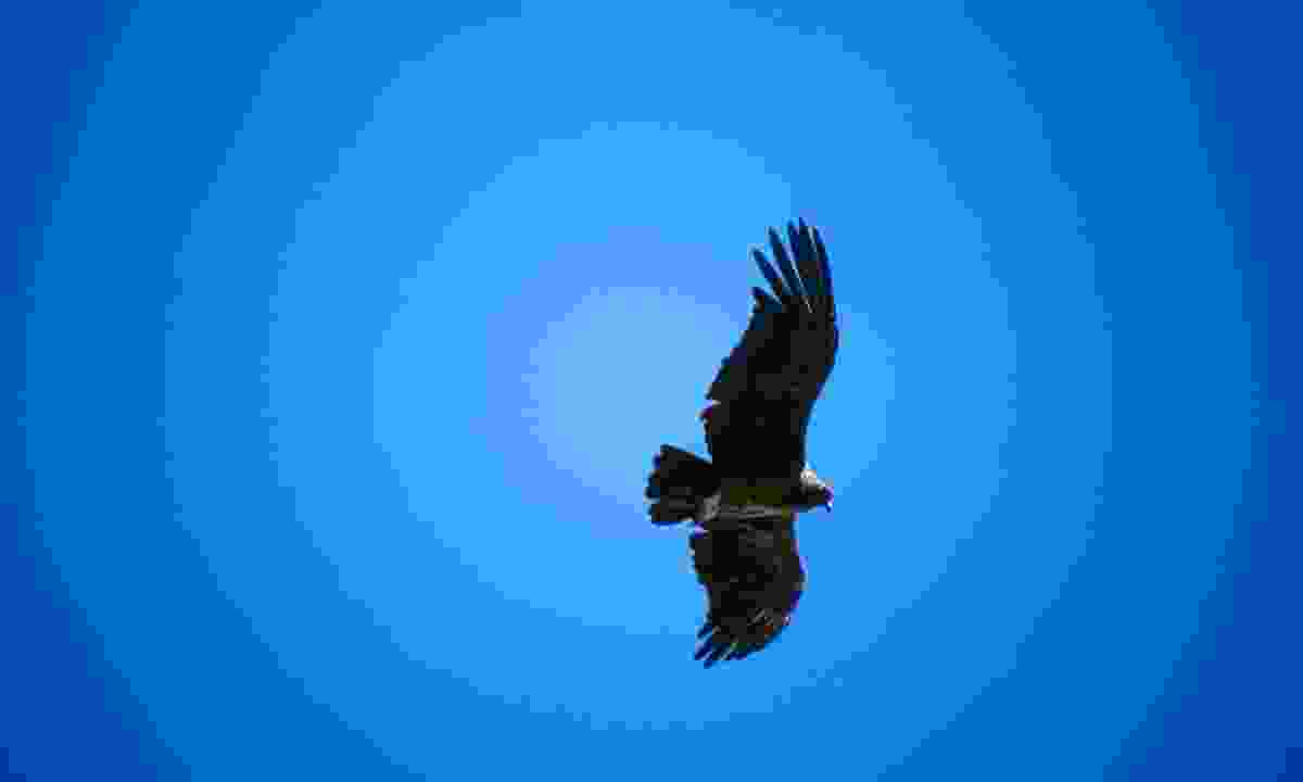 Turn your eyes skyward to catch a condor in flight (Dreamstime)