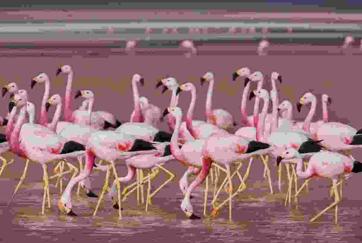 Andean flamingos, Eduardo Averroa Andean Fauna Reserve, Bolivia (Art Wolfe)
