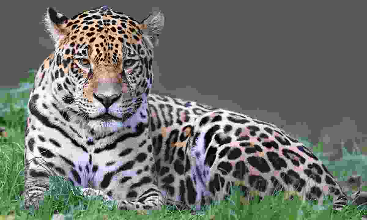 Spotted: A jaguar in the grass (Dreamstime)