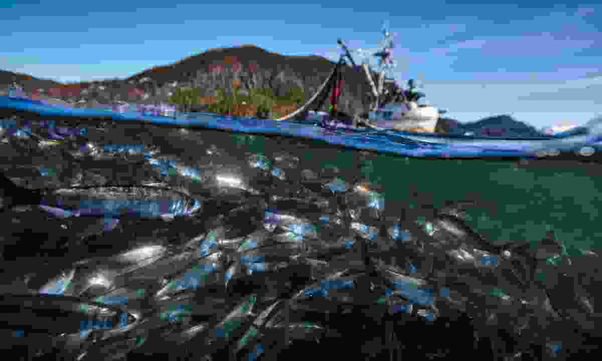"""""""Pacific Herring move into shallow waters in spring to spawn. Many of the world's fish stocks are now in serious decline and a third of them have collapsed altogether."""" Sitka, Alaska USA (Gisle Sverdrup/Silverback/Netflix)"""