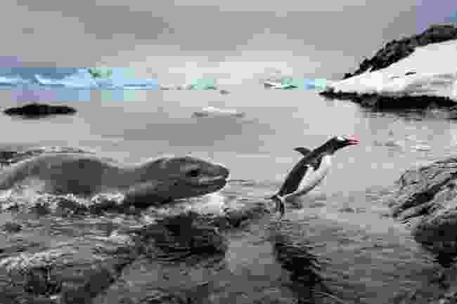 The luckiest penguin – Gentoo penguin escaping a leopard seal in Antarctica (Paul Souders)