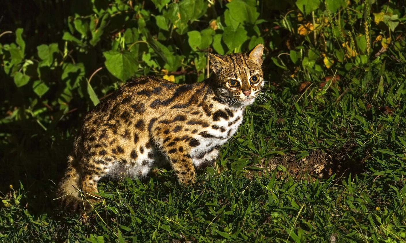Quiz Can You Identify These Unusual Wild Cats Wanderlust