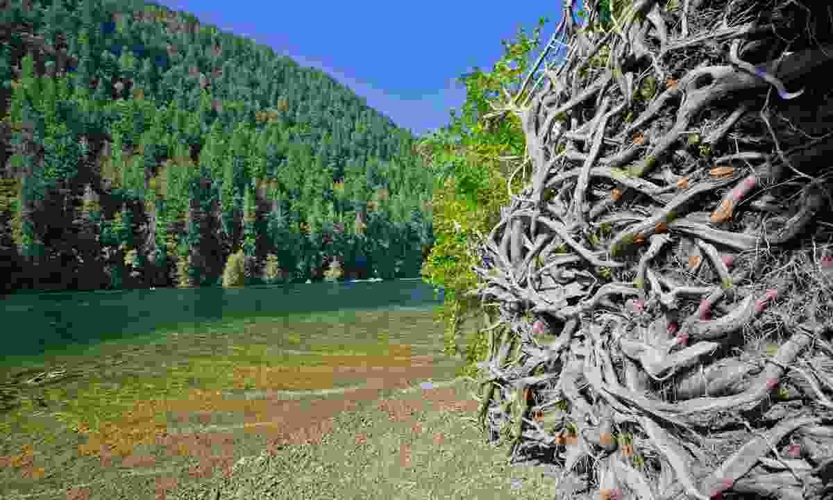 Beautiful ancient trees in Macmillan Provincial Park (Shutterstock)