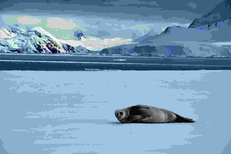 Crabeater seal on ice floes in Wilhelmina Bay, Antarctica (Shutterstock)