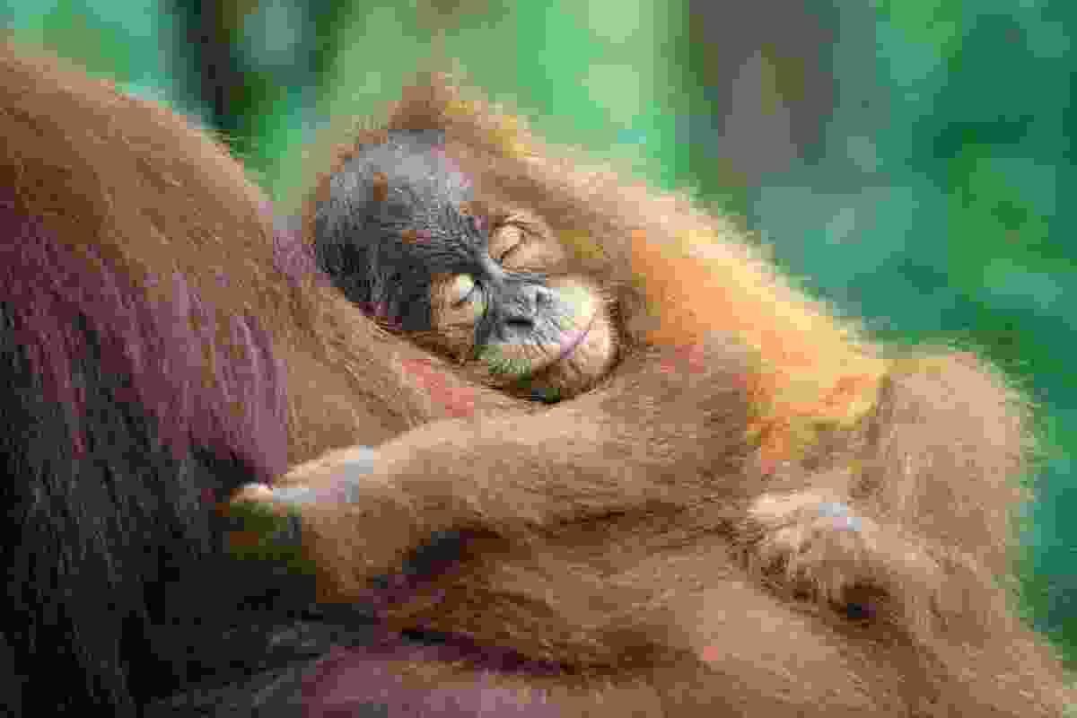 Sumatran Orangutan (Suzi Eszterhas)