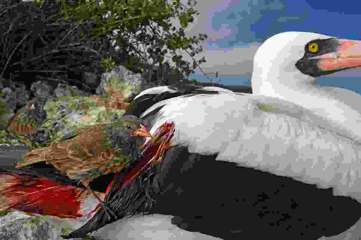 Winner of 'Behaviour: Birds' category: 'Blood thirsty' (Thomas P Peschak, Germany/South Africa)